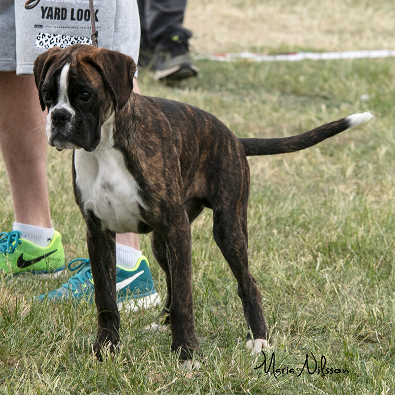 Baby Male Brindle
