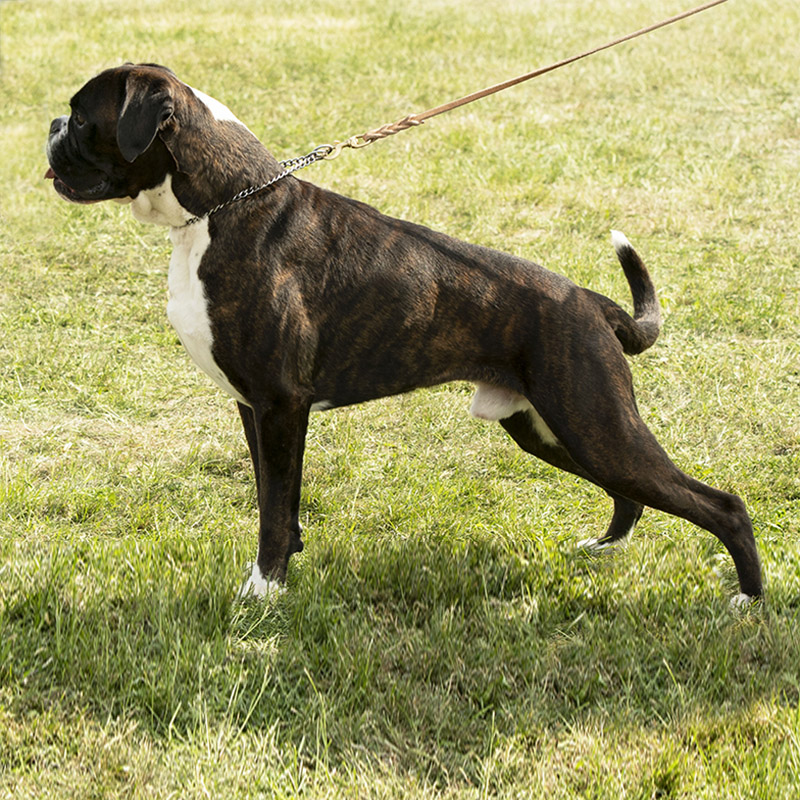 Champion Male Brindle