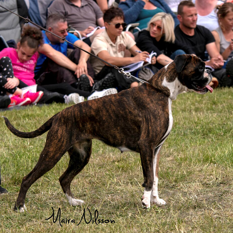 Intermediate Female Brindle