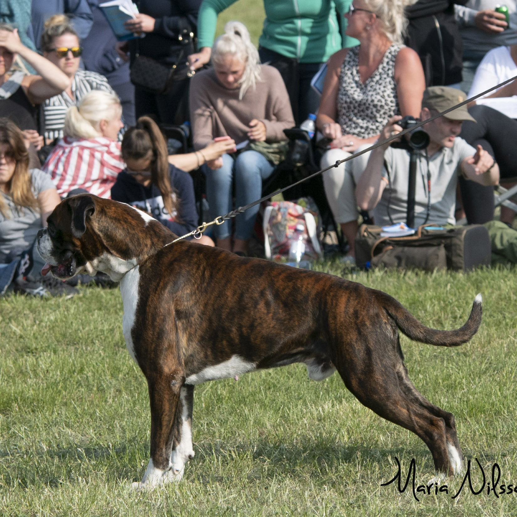 Working Male Brindle