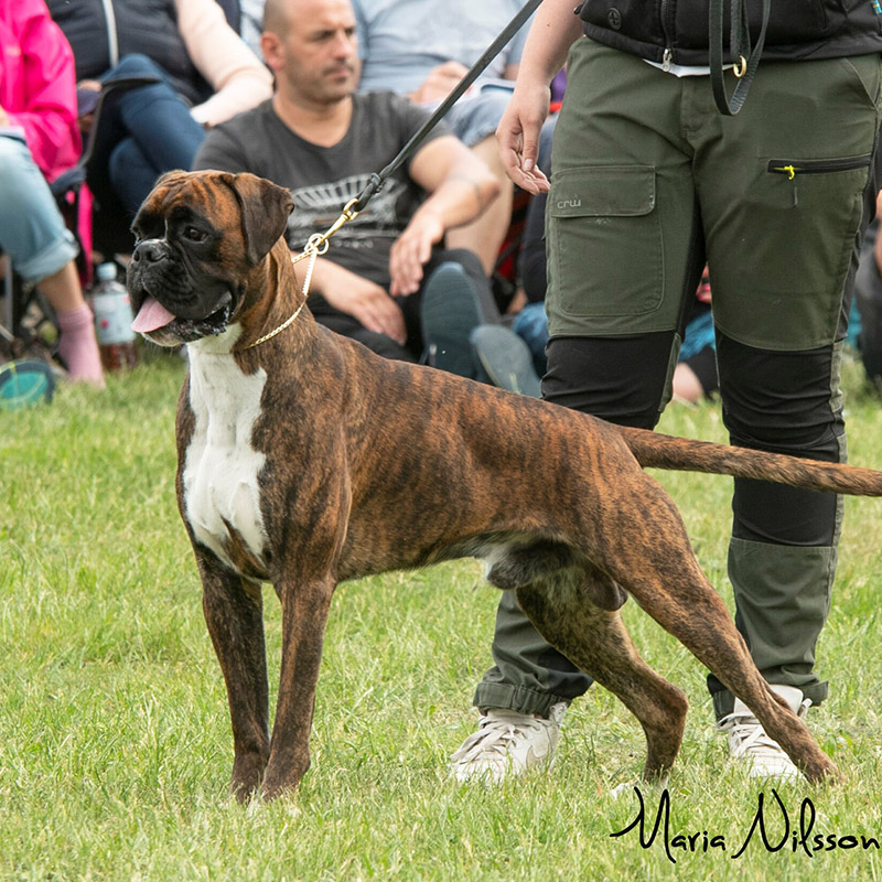 Youth Male Brindle